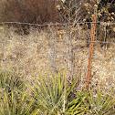 Arkansas Yucca