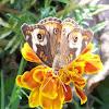 butterfly, common buckeye
