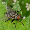Rufous Flesh Fly