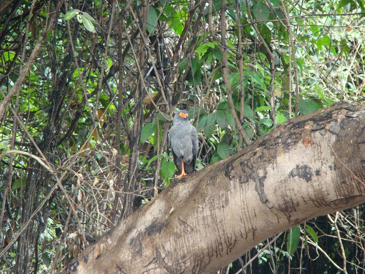 Slate-coloured Hawk