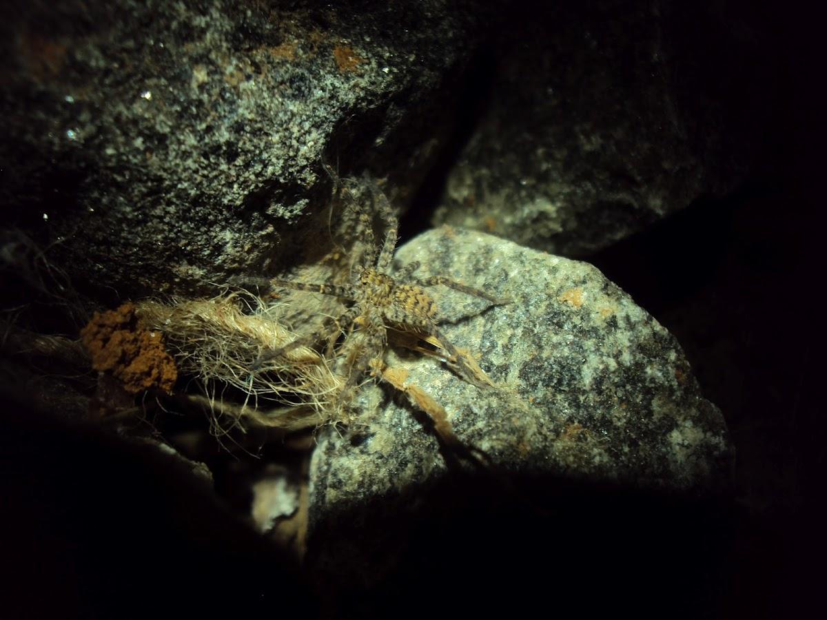 Huntsman spider?