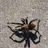 Texas Brown Tarantula
