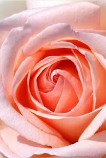 Romantic Flower Rose Wallpaper - screenshot thumbnail