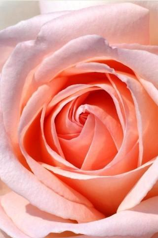Romantic Flower Rose Wallpaper - screenshot