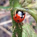Ladybird (seven spot)
