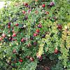 Carissa fruits
