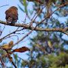Ferruginuos Pigmy-Owl