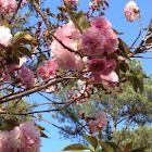 Qua son cherry blossoms