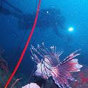 Diver & lion fish