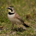 Horned lark (Northern)