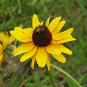Bee on Blackeyed Susan