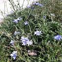 Common Chicory