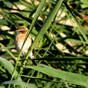 European Stonechat (immature male)