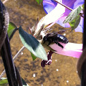 Carpenter bee (male)