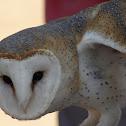 Barn Owl / Coruja-das-torres