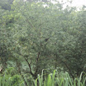 Jacu brazilian pheasant