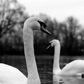 monogamie by Sasa Bogunovic - Animals Birds
