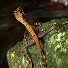 Brown-patched Kangaroo lizard