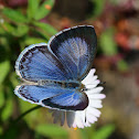 Large Hedge Blue butterfly