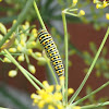 Rups Koninginnenpage,  Old World Swallowtail (larva)