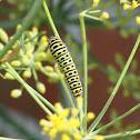 Rups Koninginnenpage,  Old World Swallowtail (larva)