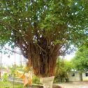 Vat Vriksha (Banyan Tree)