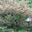 White Hawthorne Tree and Blooms