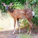 Mule deer juveniles