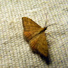 Reddish Wave Moth