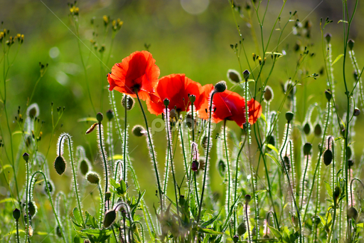 French poppies flowers in the wild flowers pixoto french poppies by heather aplin flowers flowers in the wild field backlit mightylinksfo
