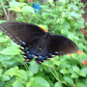 Blue swallow tail