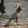 Grey Go-Away-Bird (Lourie)