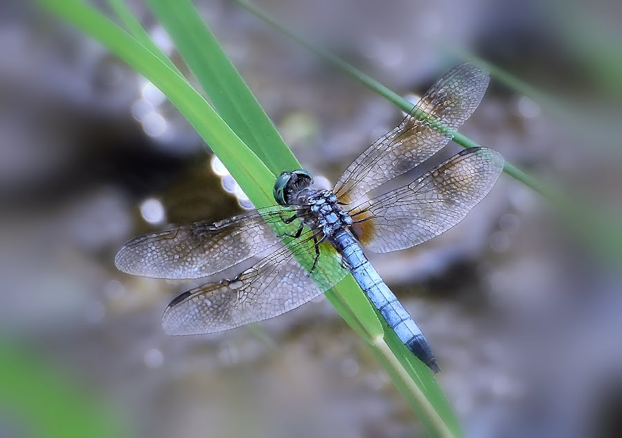 Blue Dasher, male by Liz Crono - Animals Insects & Spiders ( dashers, blue, insects, dragonflies )
