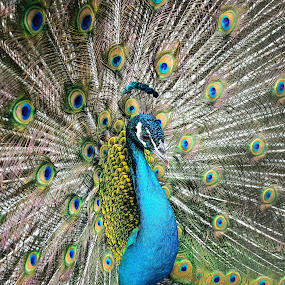 Show You My Gorgeous!!! by 敬昕 涂 - Animals Birds ( open, gorgeous, blue, 2014, alex, peacock, animal )