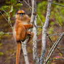 Sumatran Surili / Mitered Leaf Monkey