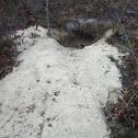 Gopher tortoise burrow