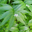 Star-flowered False Solomon's-seal