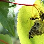 Yellow Jacket/Wasps