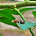 Slug Moth caterpillar with parasite