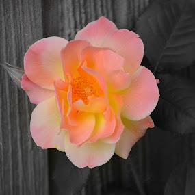 by Sara Humphrey - Flowers Single Flower