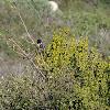 Spotted Towhee, Scrub Oak & Mistletoe