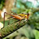 Common Bush Crickets