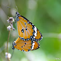 African Monarch Butterfly Mating