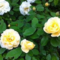 Texas Tough Roses