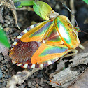 Mattiphus Sheild Bug