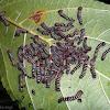 Erebid Moth Catterpillars