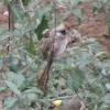 White headed mousebird