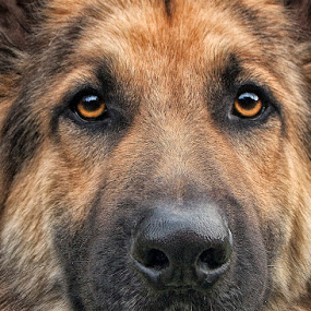 Zorro by David Morris - Animals - Dogs Portraits