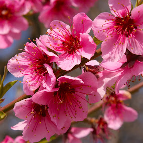 Peach Blossoms by Krys George - Flowers Tree Blossoms ( pink flowers, peach blossoms, tree flowers, pink, peachblossoms, blossoms,  )