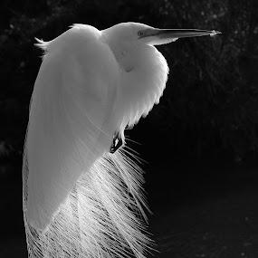 Plumes by Sandra Blair - Black & White Animals ( bird, backlit, wading bird, breeding plumage, wetlands, backlight, backlighting, wader, egret, great egret, , black and white, animal )